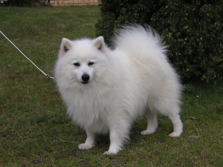 Японский шпиц фото, сколько стоит щенок и где купить, отзывы