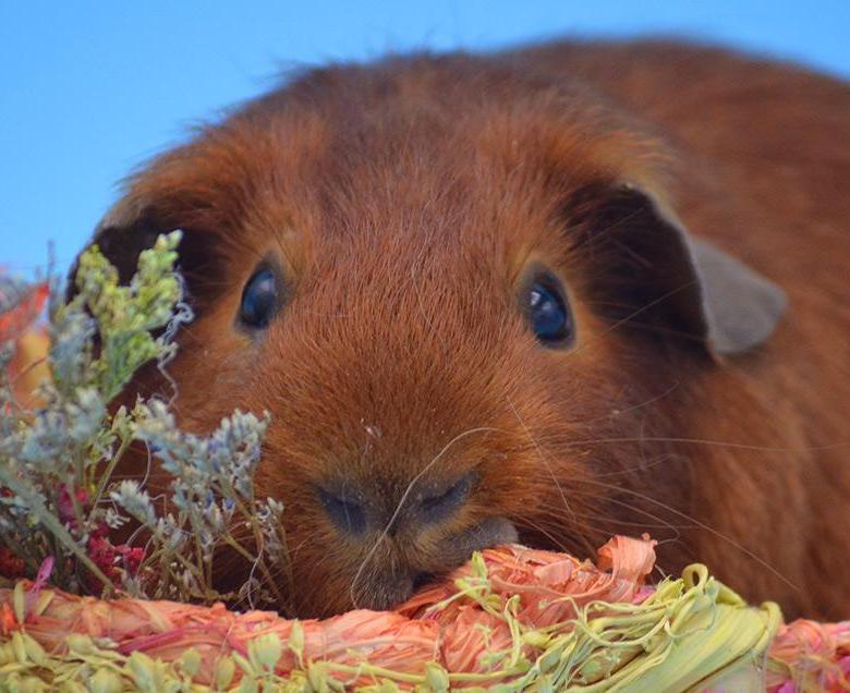 Морская свинка: лучший друг для вашего ребёнка?