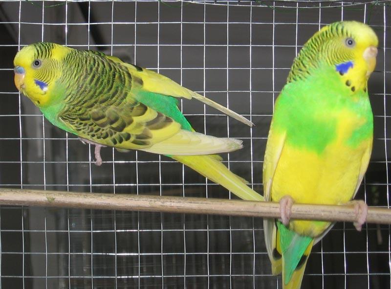 Как правильно выбрать волнистого попугая