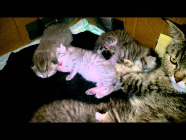Атрезия ануса у котенка