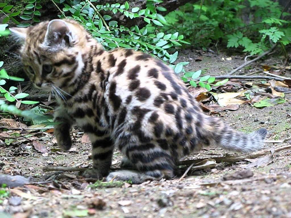 Черноногая африканская кошка: опасность жизни в естественной среде и нюансы вольерного содержания
