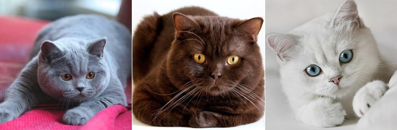 Весь спектр окраса британцев: чёрный, голубой, лиловый, мраморный, шоколадный, белый, рыжий, фото британской породы кота, описание кошек