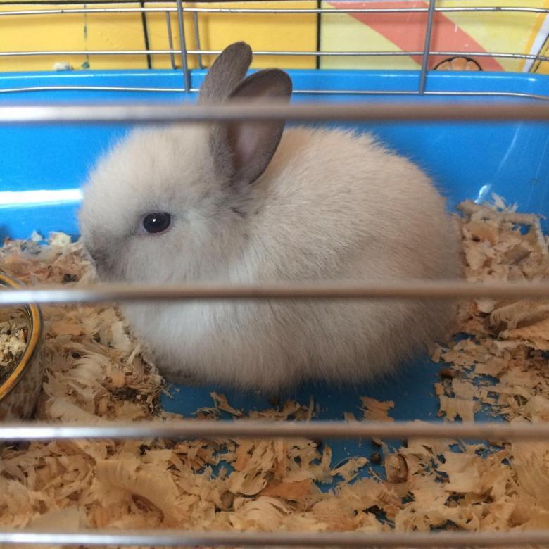 Где лучше всего покупать карликового кролика?  - статья