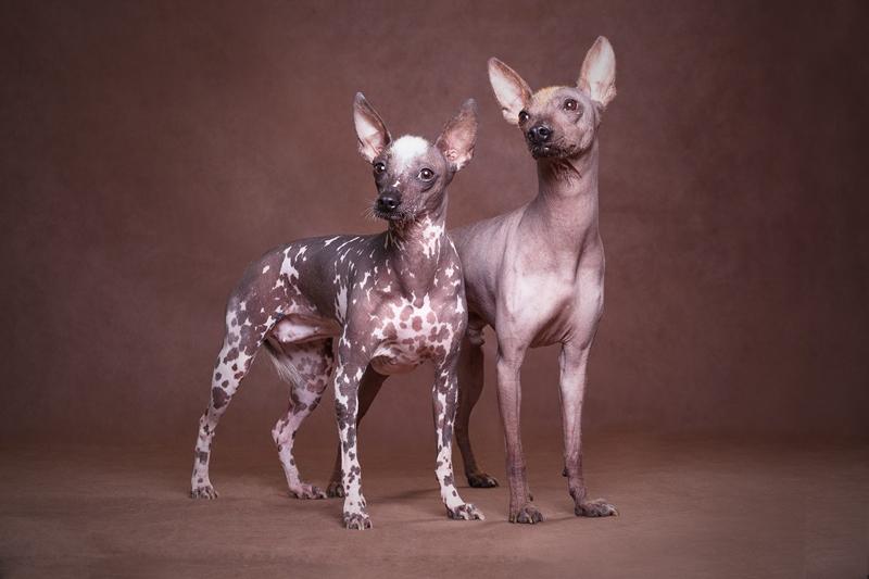 Перуанская голая собака стандарты пород собак fci на русском языке