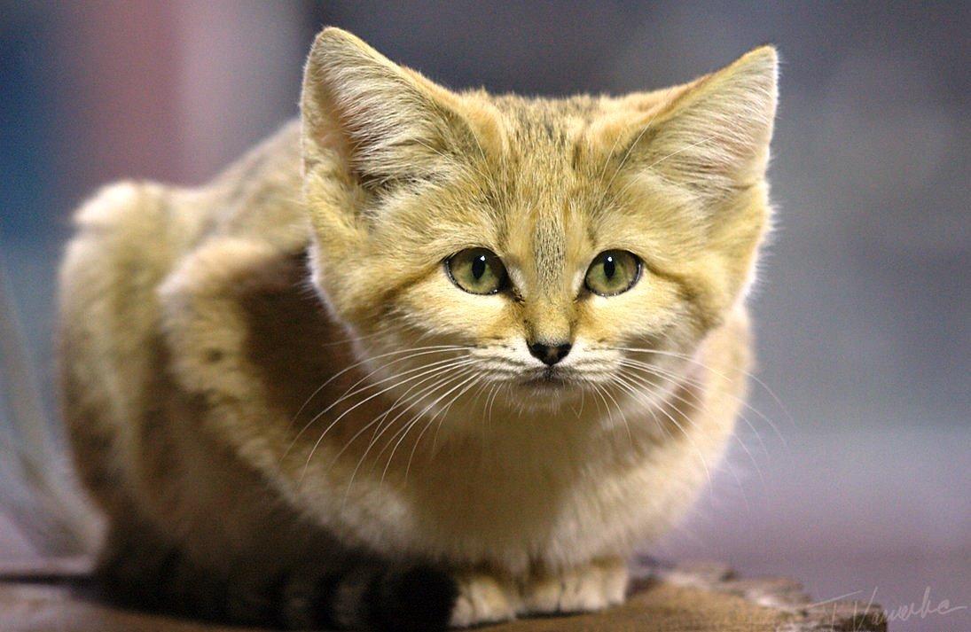 Барханный кот: образ жизни, среда обитания, проживание в квартире