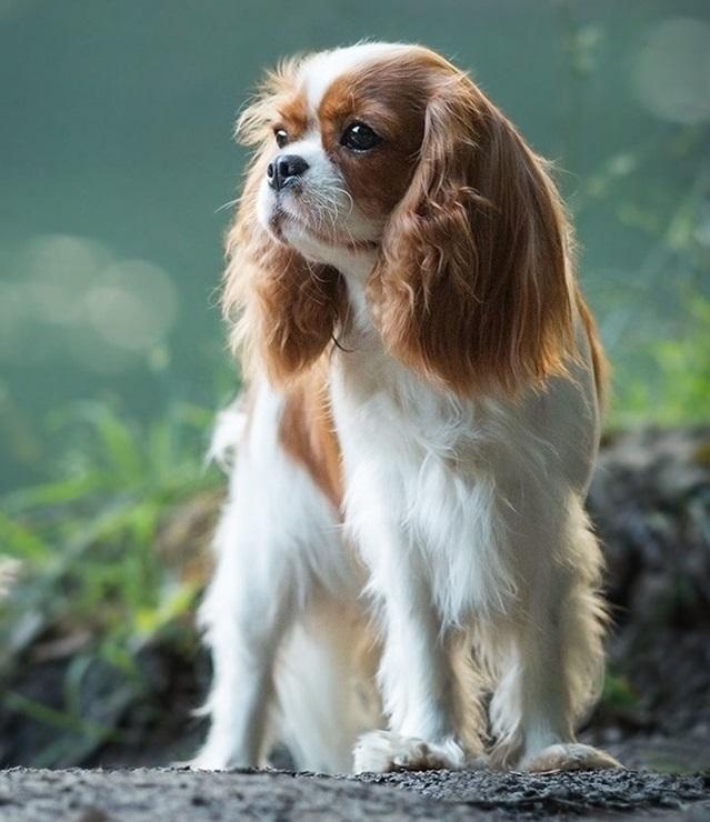 Кавалер-кинг-чарльз-спаниель: королевская порода собак для обычных людей