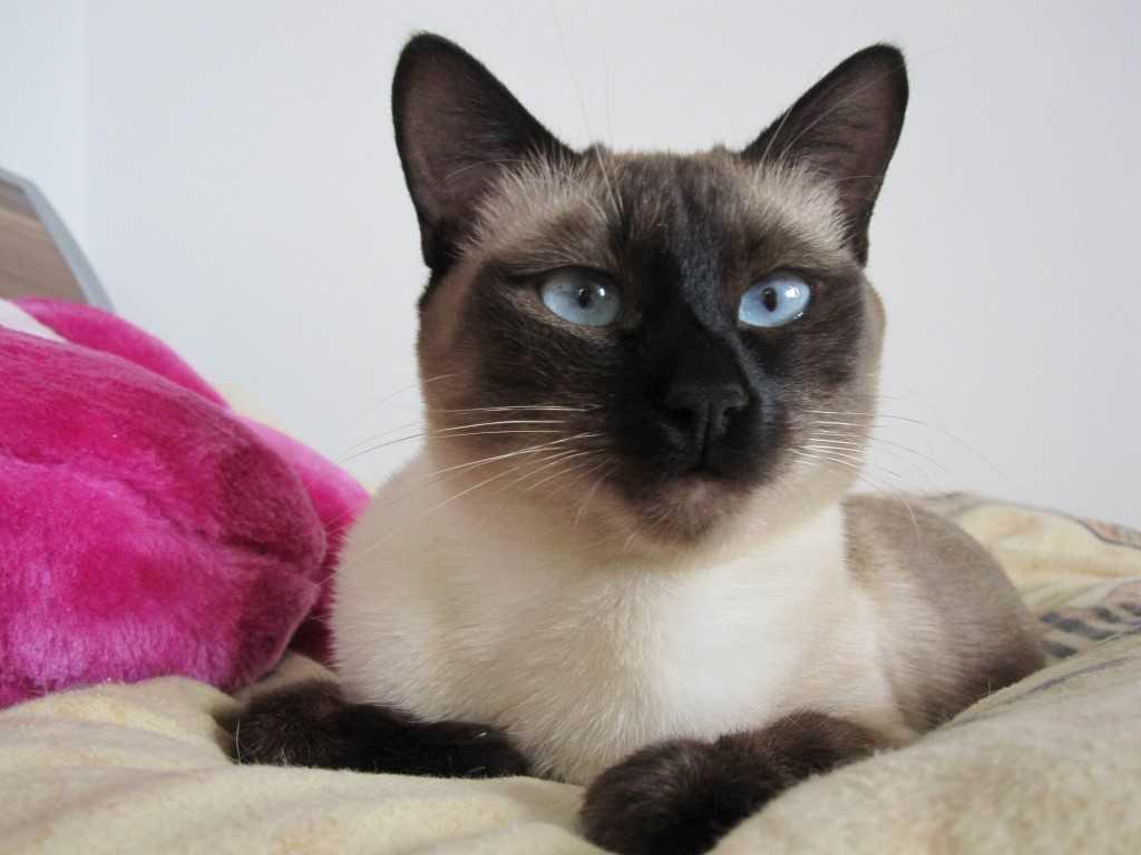 Тайская кошка: фото, описание породы, отзывы, разведение
