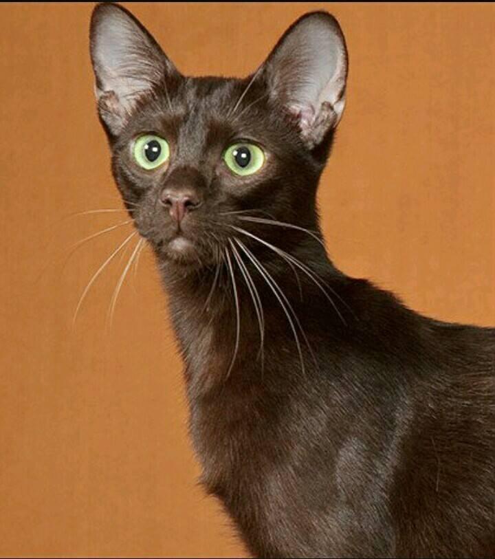 Гавана браун: фото кошки, цена, описание породы, характер, видео, питомники