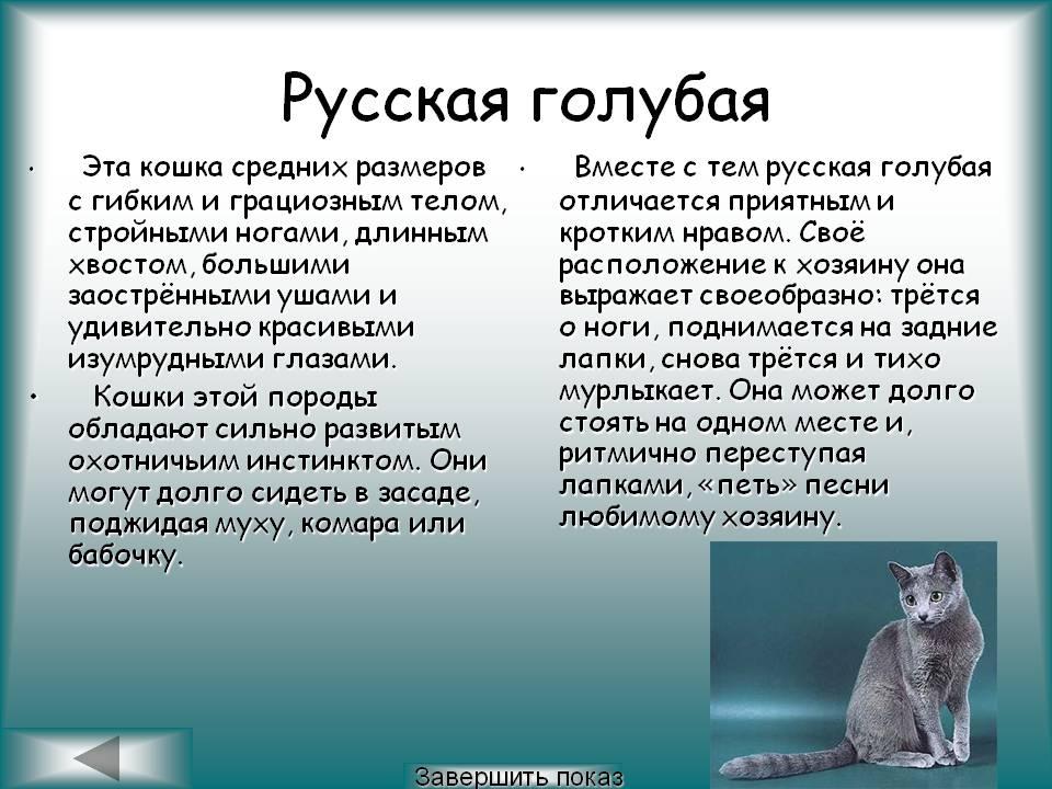 Русская голубая кошка: фото, описание, характер, содержание