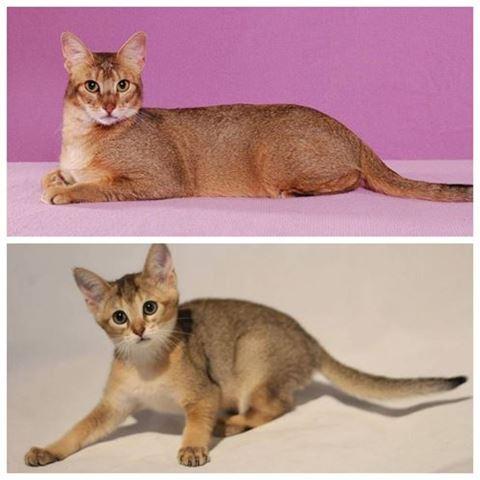Чаузи: описание породы кошек с фото — pet-mir.ru