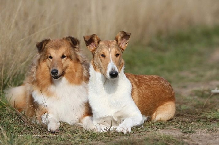 Описание шотландской овчарки, разновидности пород и характеристика собак
