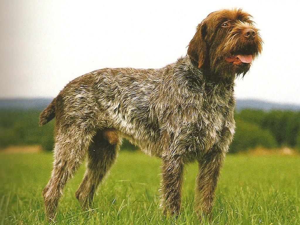 Гладкошерстные породы собак с фотографиями и названиями * маленькие, большие и среднего размера
