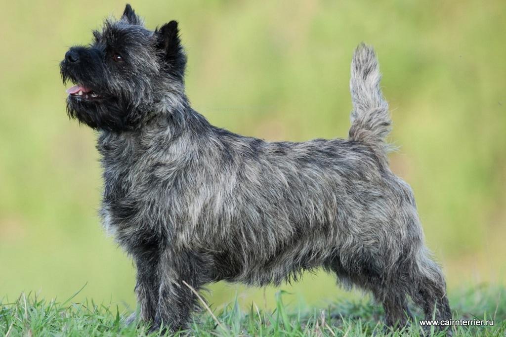 Рабочий пес родом из шотландии – керн-терьер