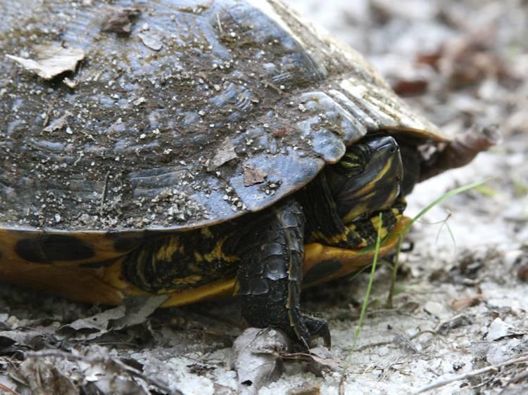 Как черепахи впадают в спячку в домашних условиях