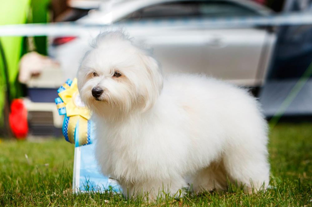 Котон де тулеар: фото и характеристики, содержание и уход за собакой
