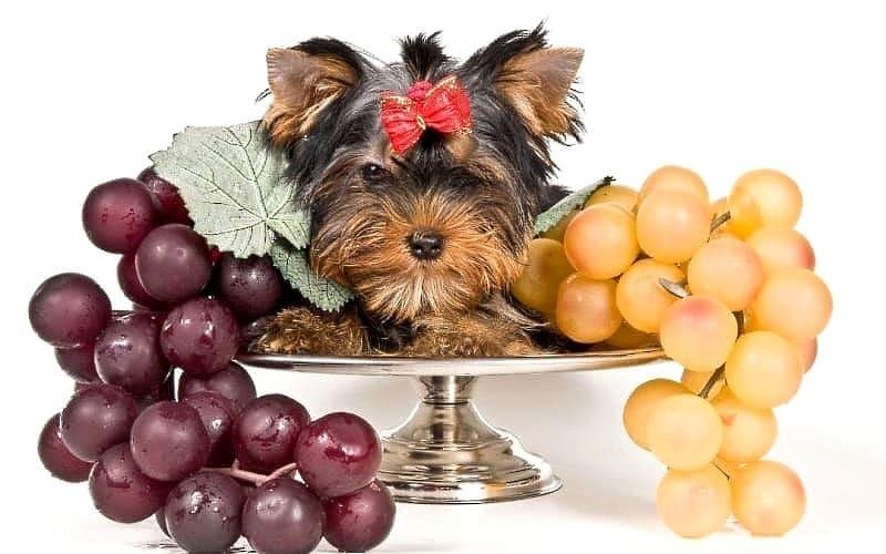 Чем кормить йорка щенка и взрослую собаку: корма, меню, правила питания
