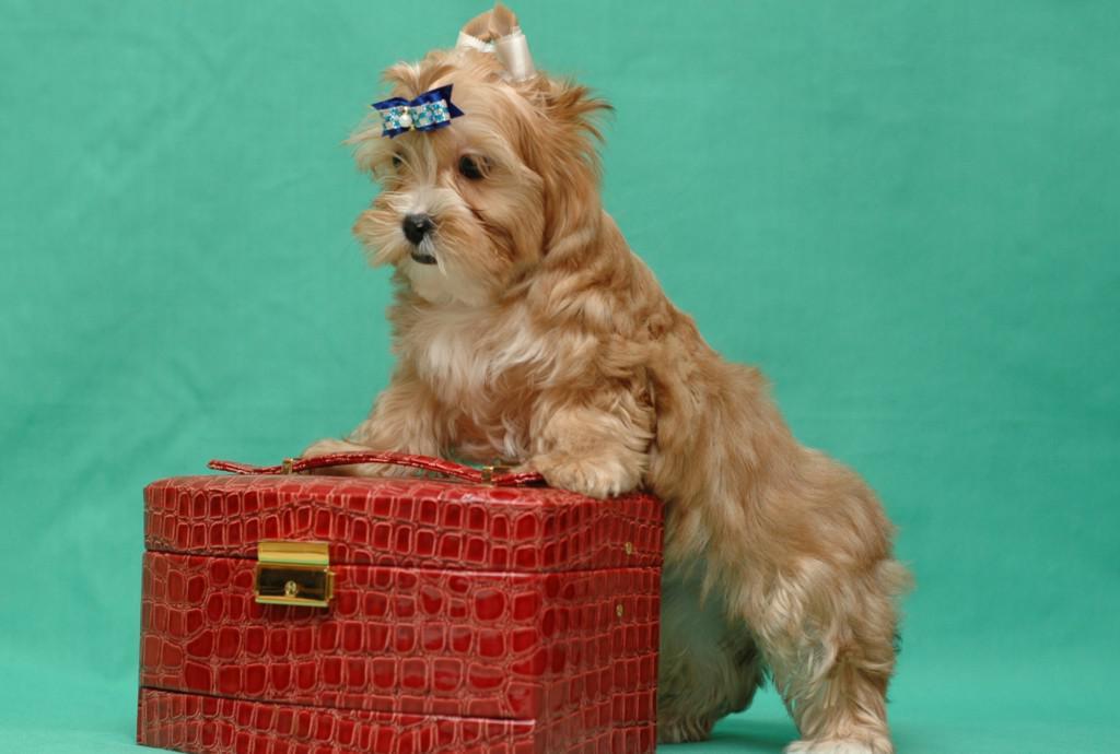 Русская салонная собака описание породы