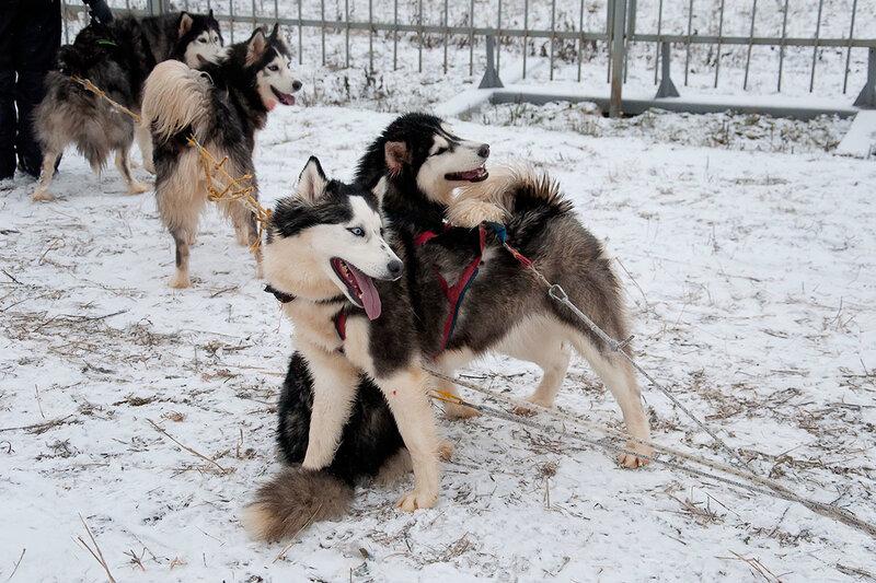 Северные ездовые собаки: названия и фото пород