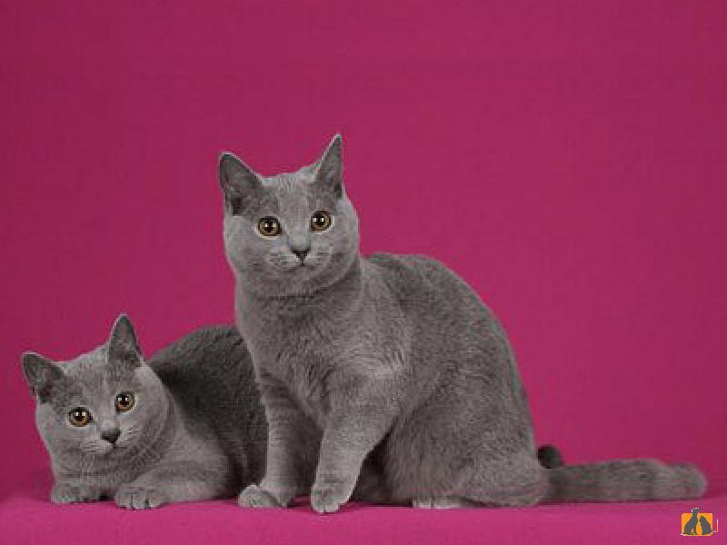 Шартрез (картезианская кошка) – описание породы от а до я
