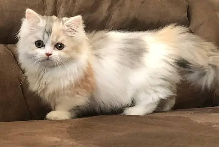 Наполеон, менуэт: : покупка котенка (фото), цена стоимость котёнка наполеона? в каком возрасте забирать котенка менуэта домой? какую информацию и документы должен предоставить заводчик?