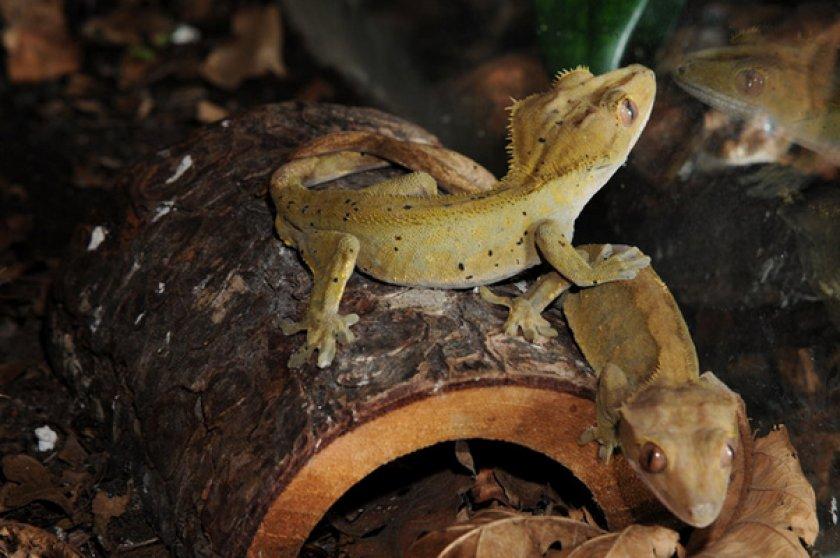 Какие бывают гекконы-бананоеды?