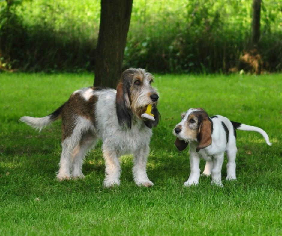 Вандейский бассет-гриффон собака. описание, особенности, характер, уход и цена породы