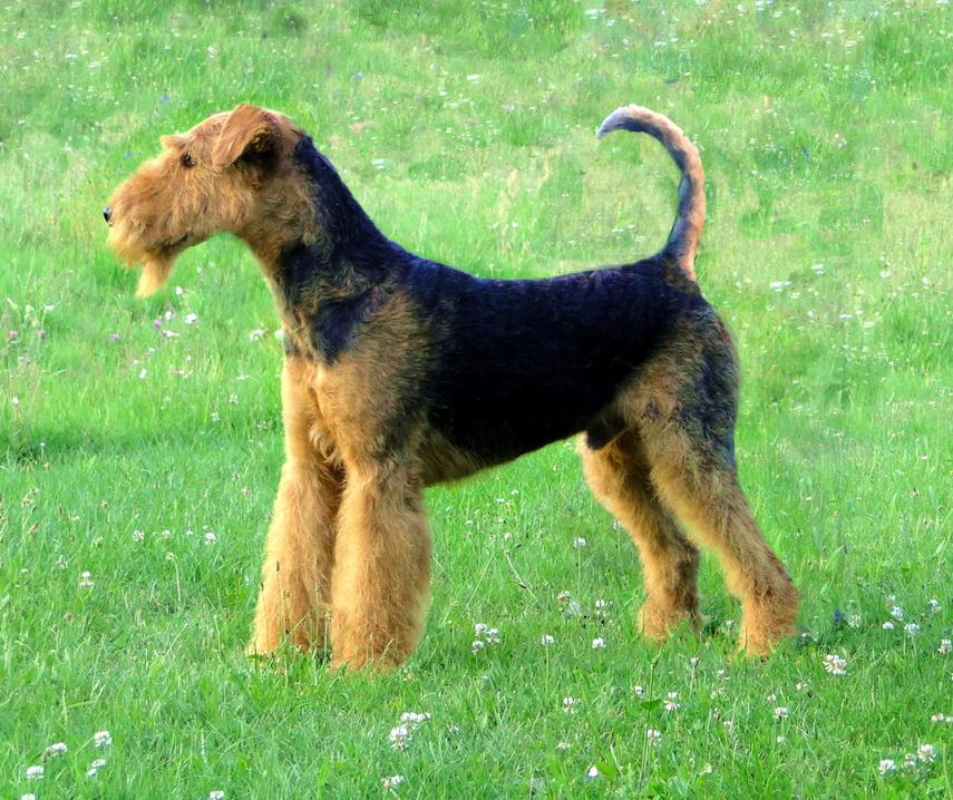 Пудель: 120 фото, разновидности, все о породе, цена щенка и взрослой собаки, обзор, оптимальный рацион и уход