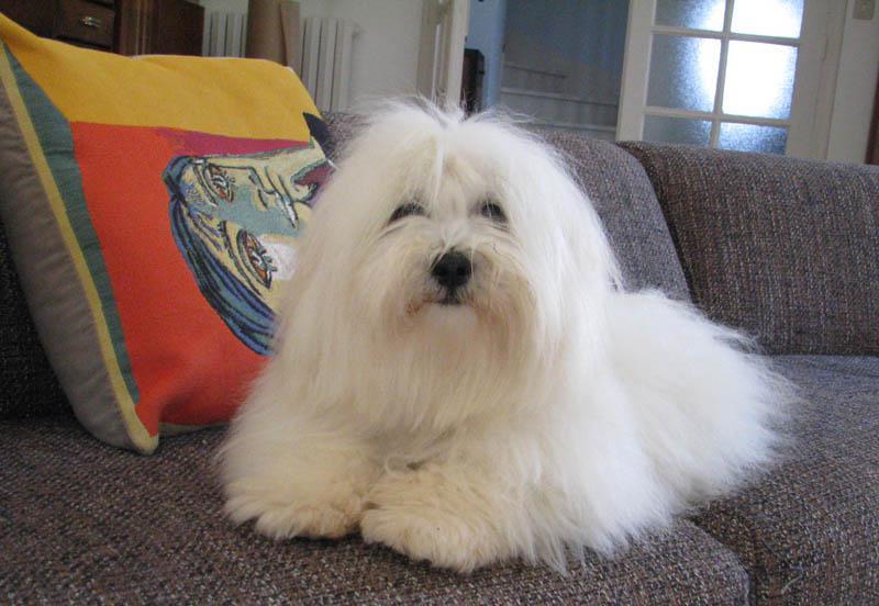 Коикерхондье: стандарт голландского спаниеля, особенности содержания и воспитания, нюансы выбора щенка, цены, фото и отзывы