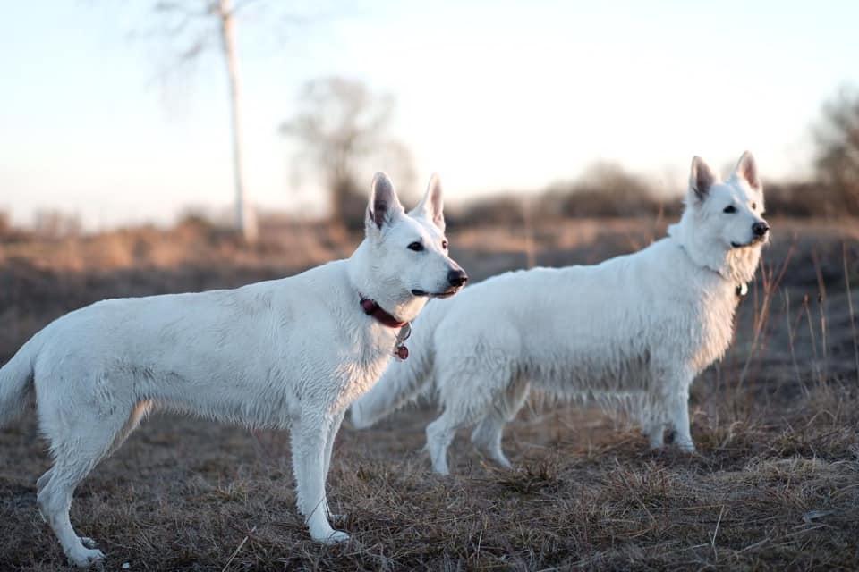 Белая швейцарская овчарка: описание породы, история появления, воспитание, уход и содержание