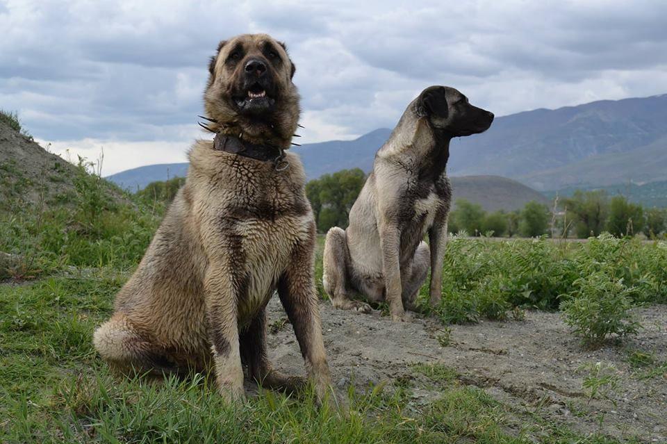 Ирландский волкодав: описание и характер породы, содержание и уход