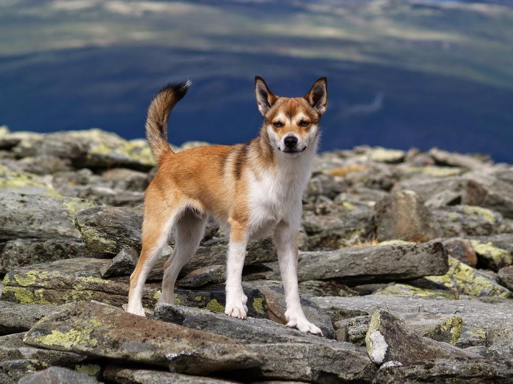 Сенбернар - фото и видео, описание породы, щенки (цена и питомники)