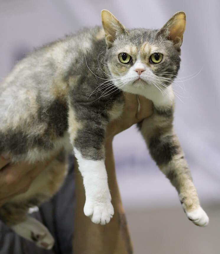 Американская жесткошёрстная кошка: характеристика и описание породы