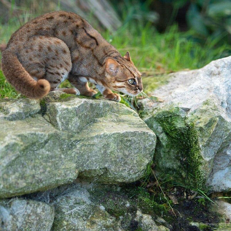 10 самых маленьких диких кошек в мире