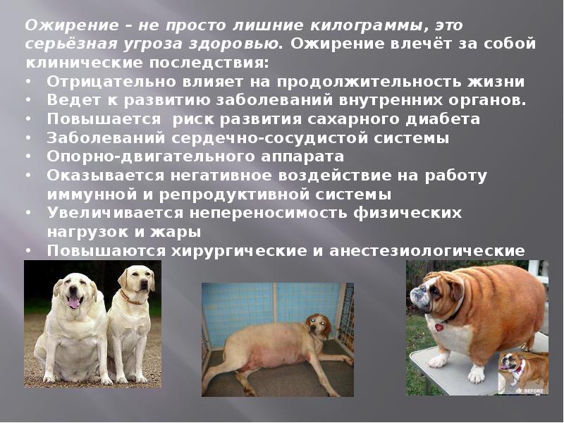 Сколько весит самая толстая собака в мире? история собаки