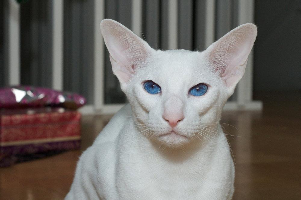 Форин вайт: описание породы, стандарты, фото кошки, характер и поведение