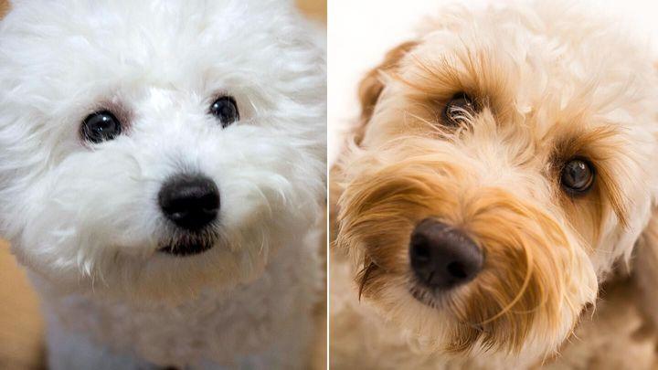 Гипоаллергенные собаки: какие породы не вызывают аллергию | hill's pet