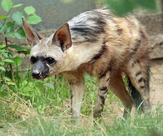 Земляной волк - вики
