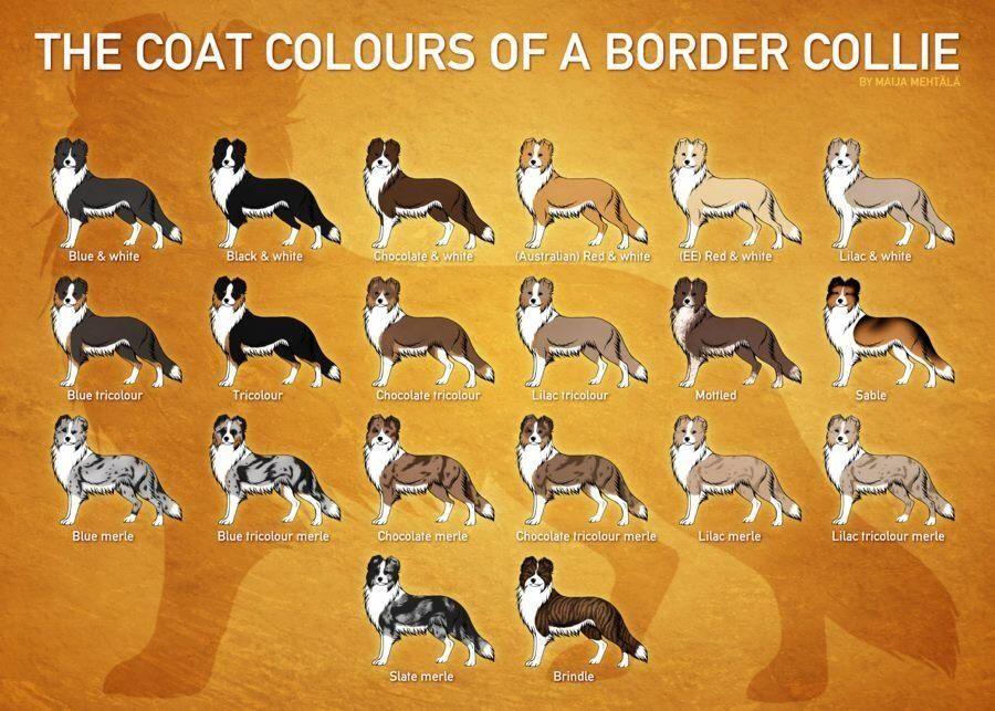 Бордер колли – умная собака с весёлым характером