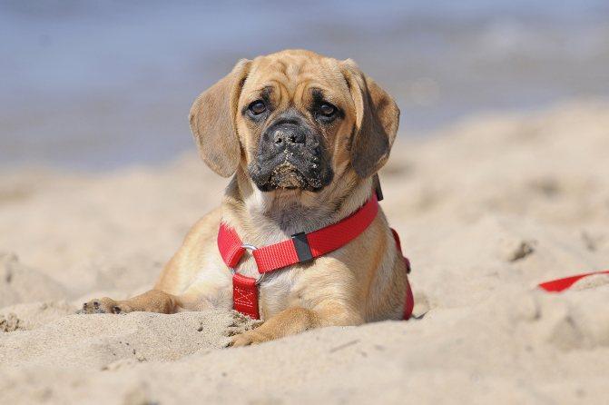 Пагль: характеристики породы собаки, фото, характер, правила ухода и содержания