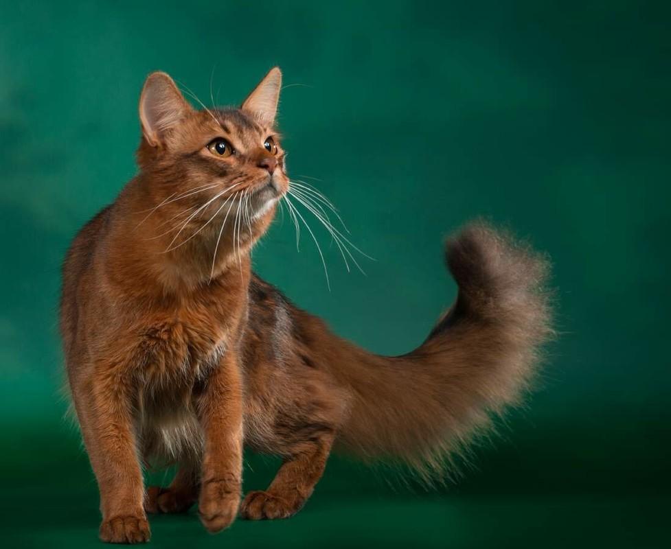 Сомалийская кошка: характеристики и особенности породы - мир кошек