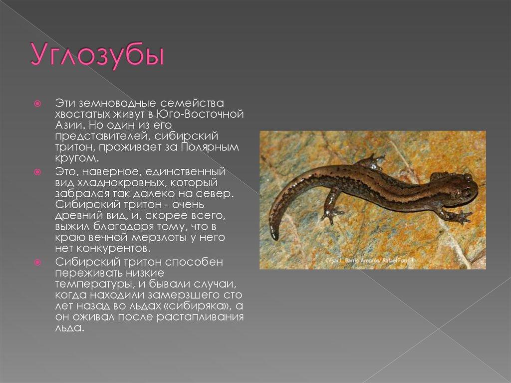 Сибирский углозуб   мир животных и растений
