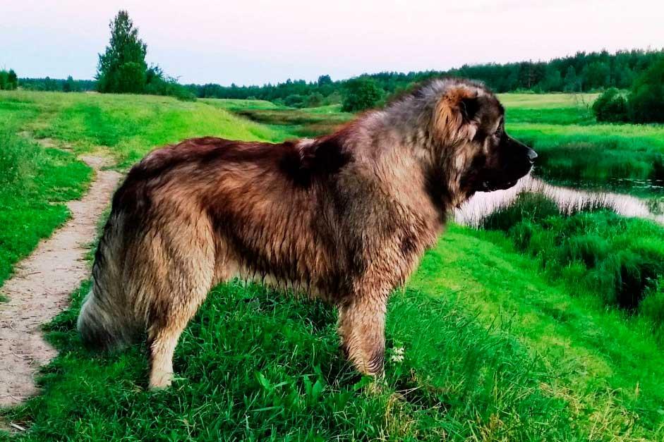 Кавказская овчарка собака. описание, особенности, уход и цена кавказской овчарки