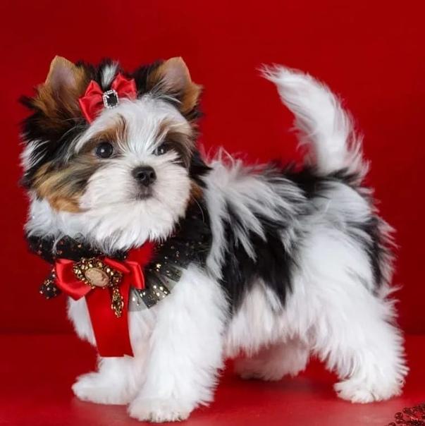 Бивер йоркширский терьер – маленькая собака с большим сердцем: описание породы