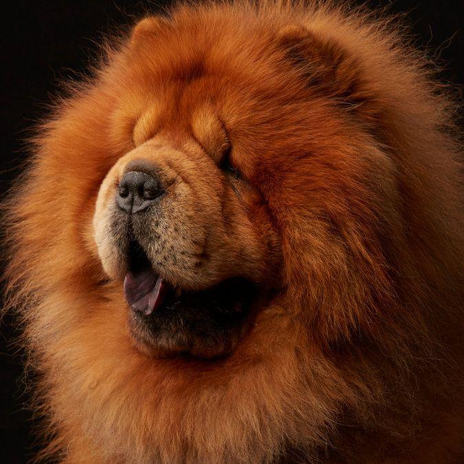 Собака с фиолетовым языком: порода