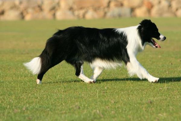 Бордер-колли - порода собак - информация и особенностях | хиллс