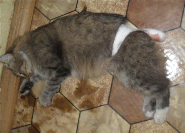 У котенка большой живот: причины и последствия, сопутствующие вздутию живота у котенка симптомы, лечение возможных заболеваний