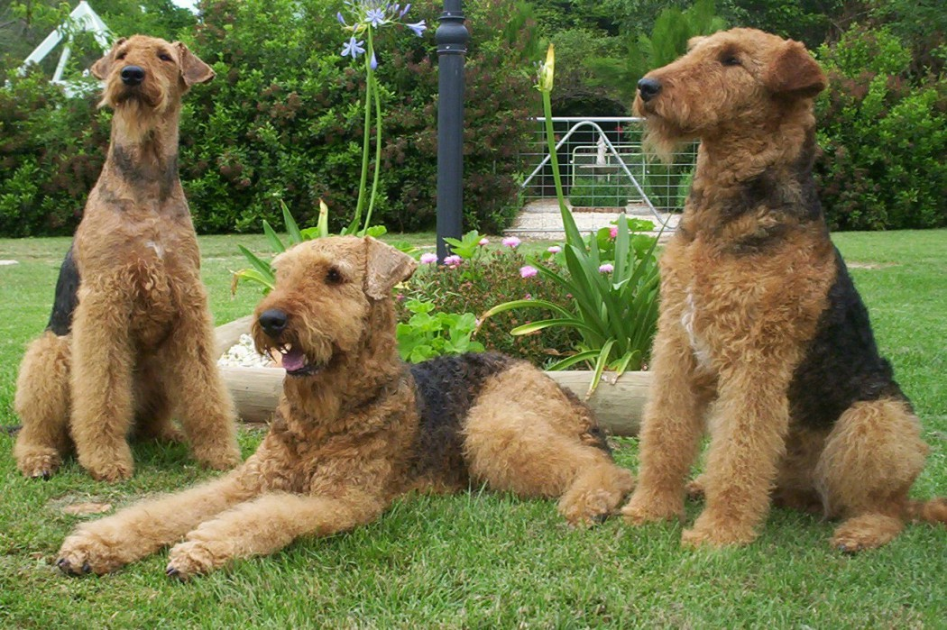Эрдельтерьер: описание собаки, фото, окрас, внешний вид, размеры, рекомендации по уходу и содержанию