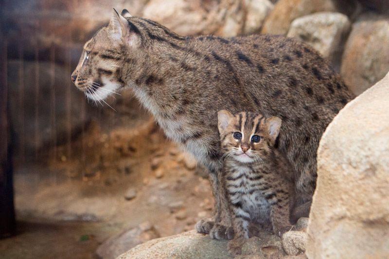 Виверровый кот-рыболов: стоит ли содержать в домашних условиях?
