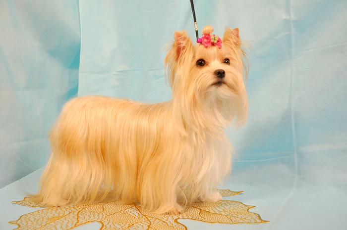 Стандарт породы русская салонная собака