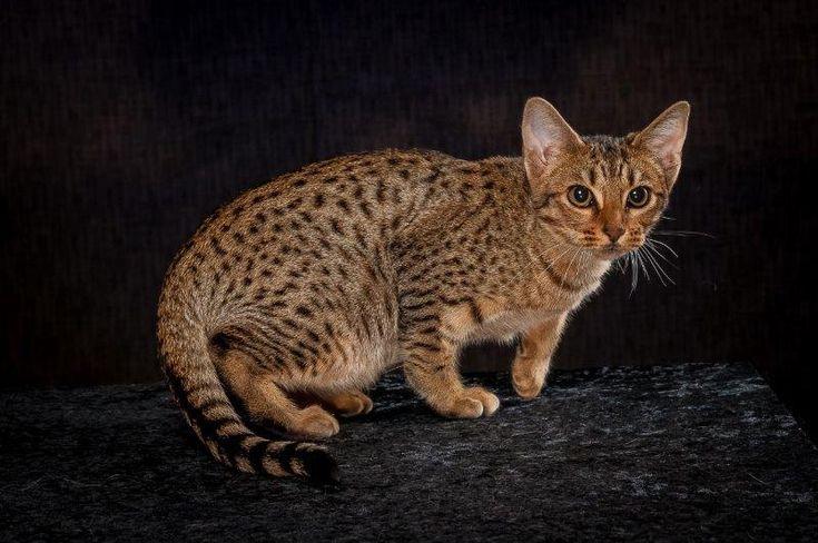 Описание породы кошек оцикет и уход за ним